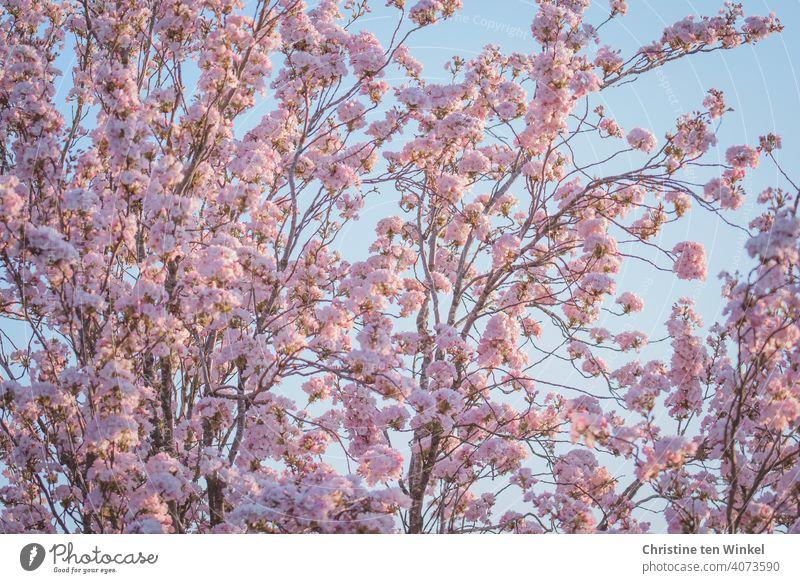 rosa Blütentraum ... Blick von unten in eine blühende Zierkirsche ( Prunus serrulata )  vor hellblauem Himmel Kirschblüten Frühling Natur Baum Außenaufnahme