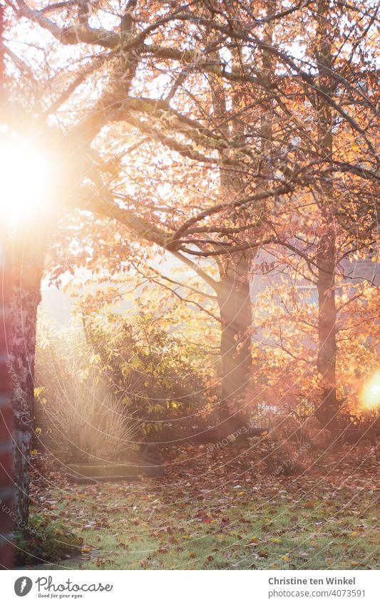 Morgenidylle im herbstlichen Garten mit den Strahlen der noch tiefstehenden Sonne, einem älteren Apfelbaum und Herbstblättern auf dem Rasen Sonnenlicht