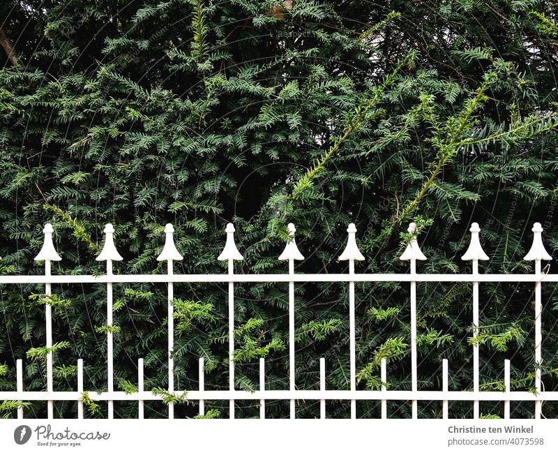 weiß lackierter schmiedeeiserner Zaun vor einer grünen Hecke Umzäunung eingezäunt Schmiedeeisen weißlackiert dekorativ schön Spitzen Zaunspitzen Gartenzaun