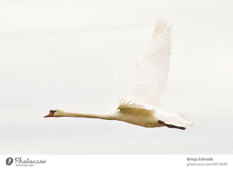 Ein majestätisch fliegender weißer Schwan in der Luft peaceful morning heavy soar pretty avian outdoor royal wilderness elegance cygnus calm heaven sunny