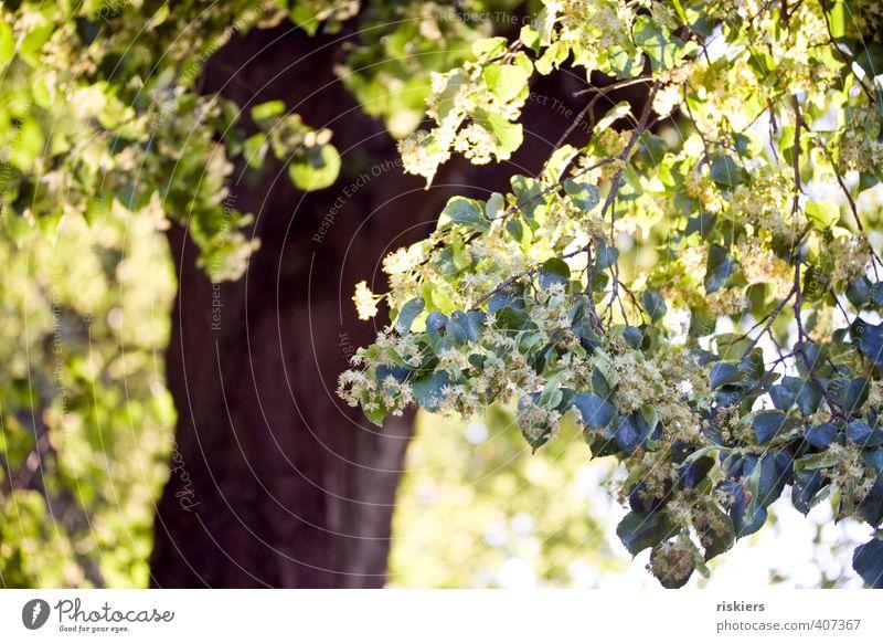 sommer! Umwelt Natur Pflanze Sonne Sonnenaufgang Sonnenuntergang Sonnenlicht Sommer Schönes Wetter Baum Linde Park Blühend leuchten Freundlichkeit Fröhlichkeit