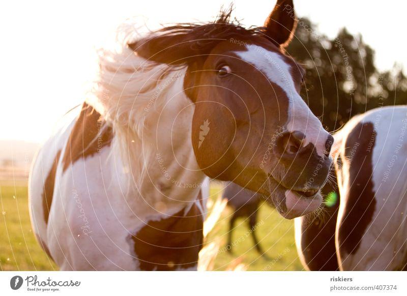 crazy Tier Haustier Pferd beobachten Bewegung authentisch frech frei lustig wild schütteln Farbfoto mehrfarbig Außenaufnahme Textfreiraum links Tag Abend Licht