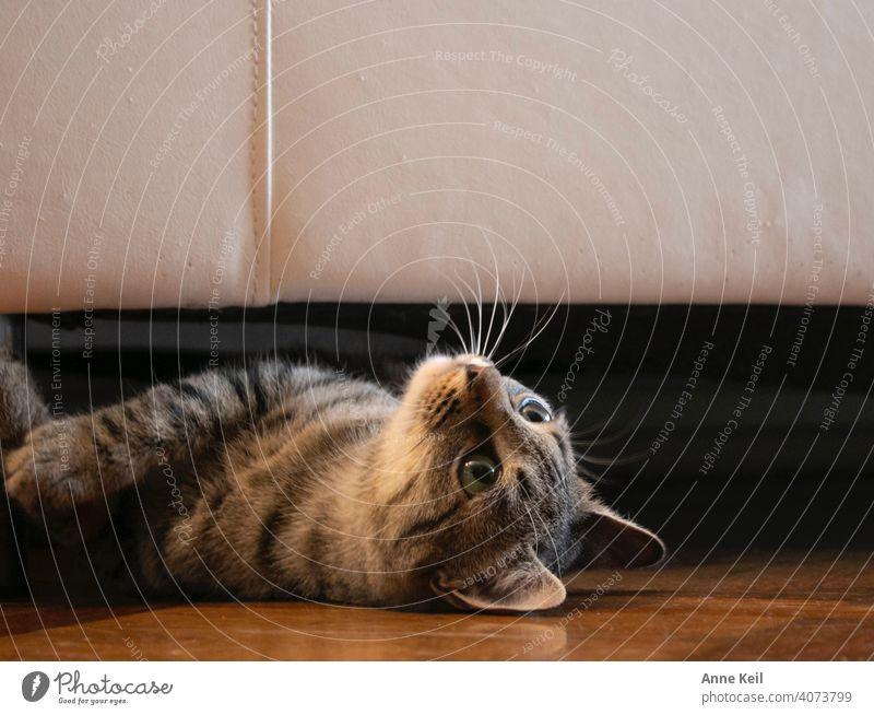 Junge getigerte Katze schaut unter dem Sofa hervor. kitten katzenhaft Katzenbaby niedlich Fell Ein Tier Haustiere bezaubernd fluffig Kätzchen Innenaufnahme