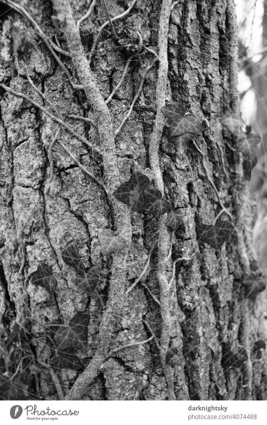 Efeu wächst an einem Baum mit rauer Borke im frühen Frühling Natur Rinde Birke Umwelt Pflanze natürlich Außenaufnahme Baumstamm Baumrinde Holz Wachstum Blatt