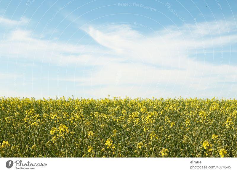 beginnende Rapsblüte - Rapsfeld und blauer Himmel mit Schönwetterwolken / Ackerbau / Landwirtschaft Dekowolken Frühling Kohl Lenat Reps Nutzpflanze Feld
