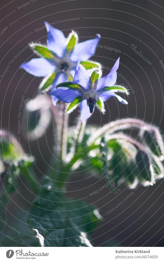 Glühende Borretschblüten Blume blau grün purpur grau geblümt essbar Kraut Kräuterkunde Kräuterbuch Pflanze Textfreiraum Natur natürlich wachsen wachsend
