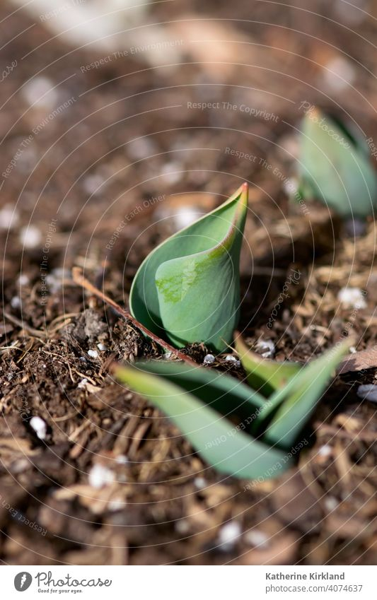 Neue Tulpenpflanze Blatt Blätter Pflanze wachsen wachsend Wachstum sprießen sprossen. Natur Frühling Saison saisonbedingt Boden Schmutz Erde botanisch Beginn