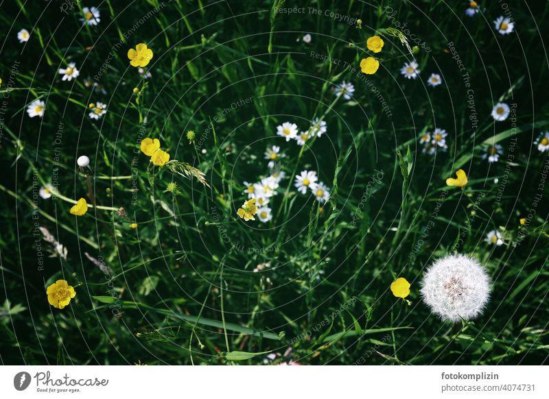 Wiesenblumen von oben Wiesenpflanzen Blüten Blühend Wildpflanze sprießen Löwenzahn Blumenliebe Frühling Butterblümchen Butterblumen Gänseblümchen Pflanze Natur