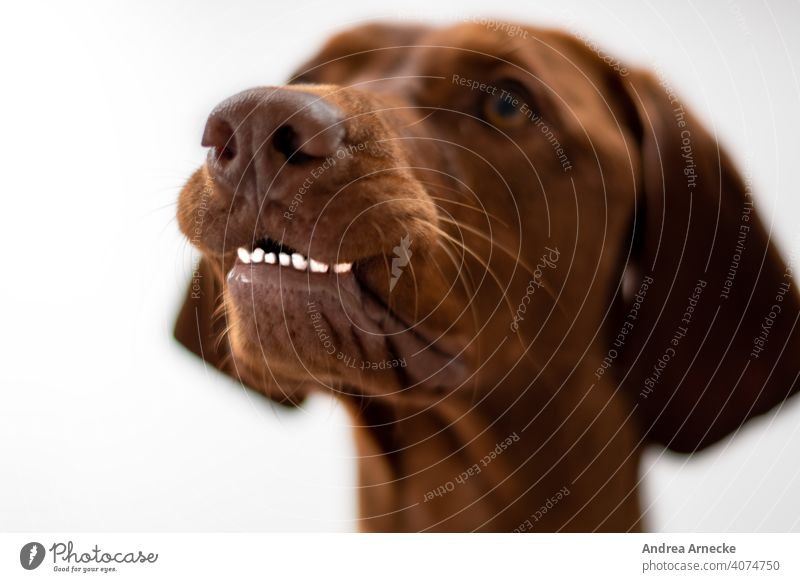 Hund zeigt seine unteren Zähne lustig Vizsla aufmerksam Aufmerksamkeit Jagdhund Tierporträt Nase Bokeh Farbfotos Schwache Tiefenschärfe weißer Hintergrund