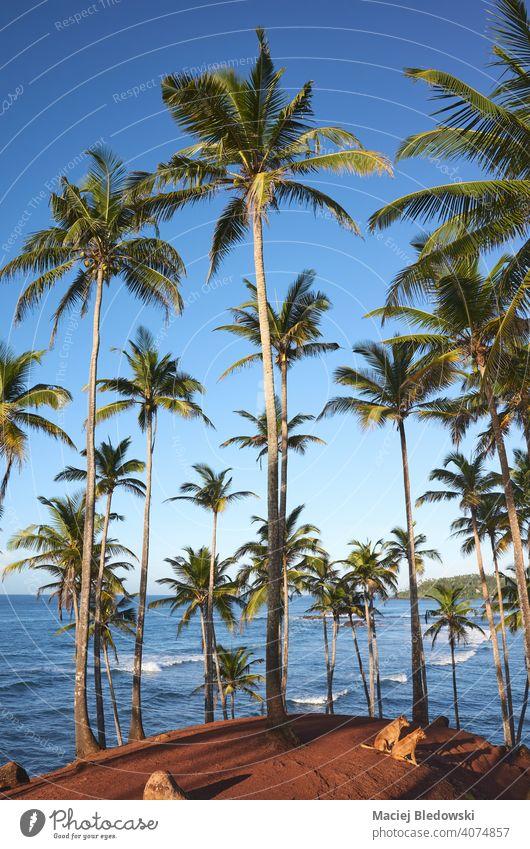 Kokosnusspalmen und zwei Hunde an einem tropischen Strand bei Sonnenaufgang, Sri Lanka. Insel Handfläche MEER Sommer reisen Paradies exotisch Natur Meer Urlaub