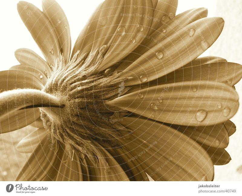 Morgengabe Blume Blüte Seil Sepia Blütenblatt Gerbera