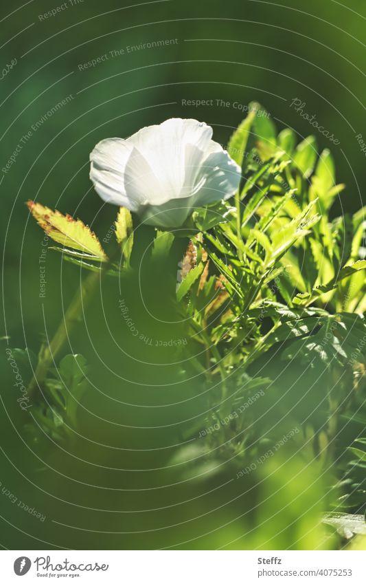 weiße Blume umgeben von grünen Blätter weiße Blüte Blütenblätter heimisch September grüne Blätter Sommerende Septemberwetter blühende Blume letzte sonnige Tage