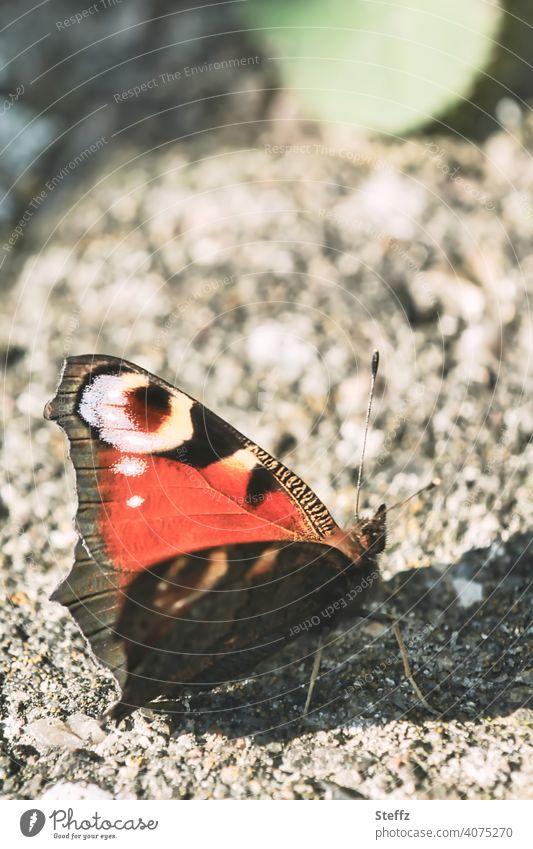 ein kleiner Schmetterling genießt den sonnigen Tag im Garten Tagpfauenauge Edelfalter Tagfalter Aglais io Inachis io Falter Oktober sonniger Tag Sonnenwärme