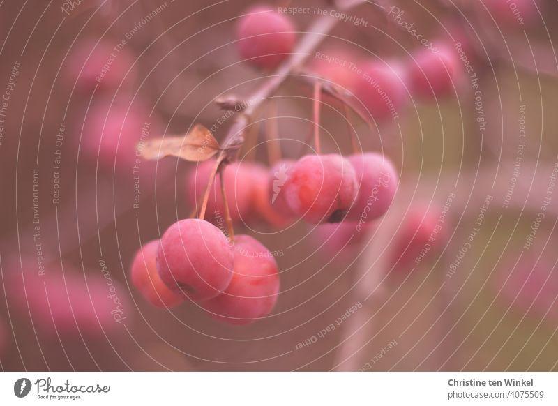 reife rote Zieräpfel hängen eng nebeneinander am Zweig Zierapfel Malus Apfel Äpfel Natur Baum Strauch Dekorativ klein viele Frucht Garten Apfelbaum Pflanze