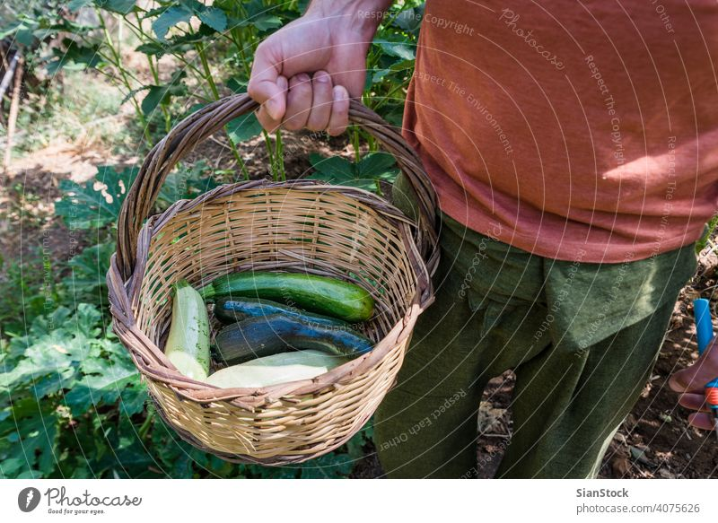 Mann hält einen Korb mit Zucchinis in seinem Garten Ernte Sommer frisch Gesundheit Lebensmittel grün organisch Squash Veganer roh Bestandteil Vegetarier