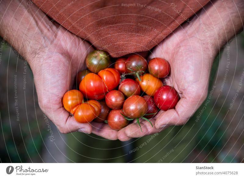Frische kleine, rote Tomaten in Bauernhänden, Ansicht von oben Garten Bauernhof Gartenarbeit Gesundheit Lebensmittel grün Ernte organisch Ackerbau Sommer