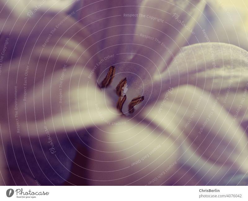 Hyazinthenblüte Makroaufnahme Blume Frühling Pflanze Natur Farbfoto Nahaufnahme Blüte Blühend Schwache Tiefenschärfe Detailaufnahme Außenaufnahme Garten lila