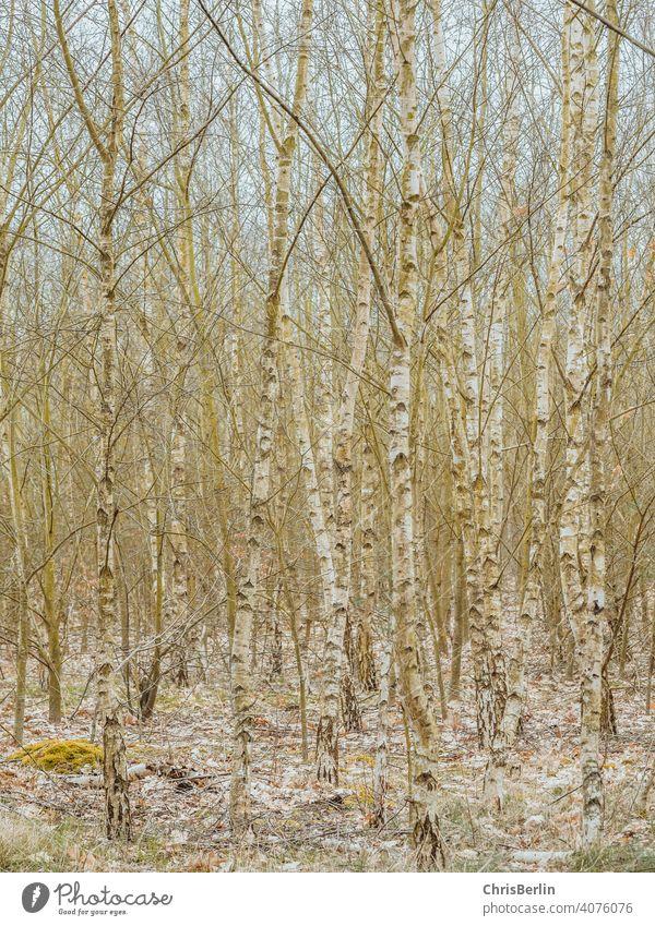 Birkenwäldchen Natur Landschaft Baum Wald Umwelt Außenaufnahme Menschenleer Farbfoto Bäume Herbst Licht Holz Baumstamm Forstwirtschaft Klima