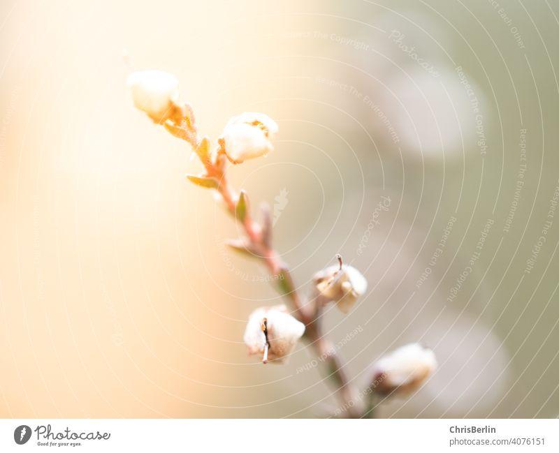 Blütenstengel Makrofotografie Natur Nahaufnahme Detailaufnahme Pflanze Garten Außenaufnahme Farbfoto Schwache Tiefenschärfe Blume Unschärfe rosa Blühend
