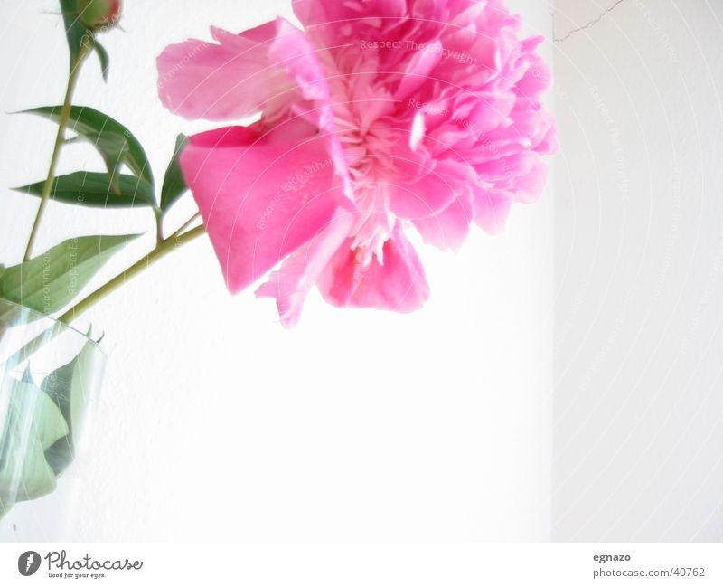 Pink Flower Blume Blüte rosa Nahaufnahme Kontrast