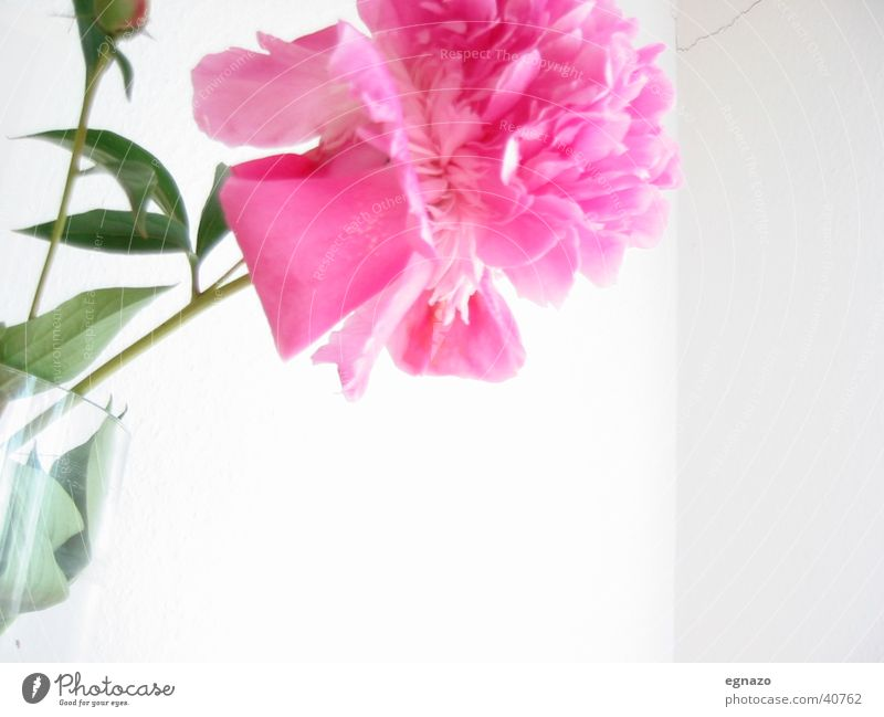 Pink Flower Blume Blüte rosa
