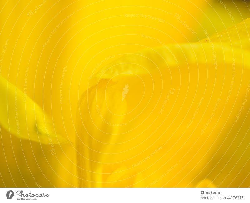 gelbes Blütenblatt Nahaufnahme Blume Pflanze Makroaufnahme Natur Detailaufnahme Frühling Farbfoto Blühend Schwache Tiefenschärfe Garten
