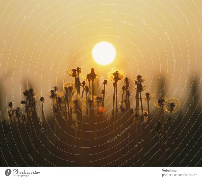Blumen mit Abendsonne Natur Blüten Garten Löwenzahn Flora Botanik loewenzahn abend abends abendhimmel sonnenuntergang gegenlicht romantisch malerisch blume