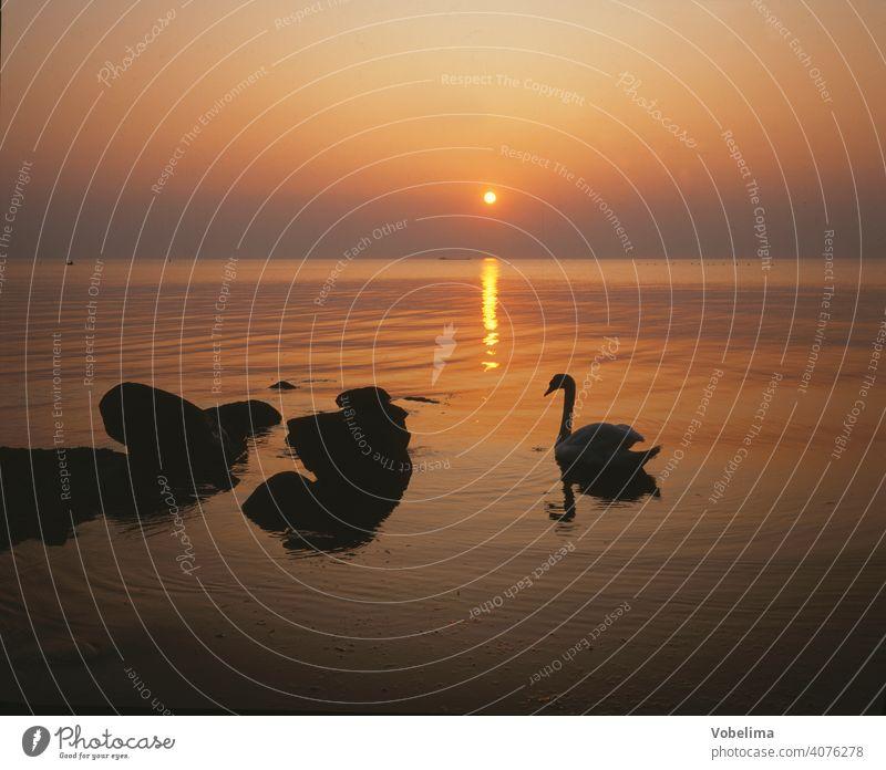 Schwan an der Ostsee, abends Abend Sonne TIERE Deutschland Sonnenuntergang Wasser Cygnus olor vogel tier romantisch pittoresk ufer abendhimmel wolke wolken