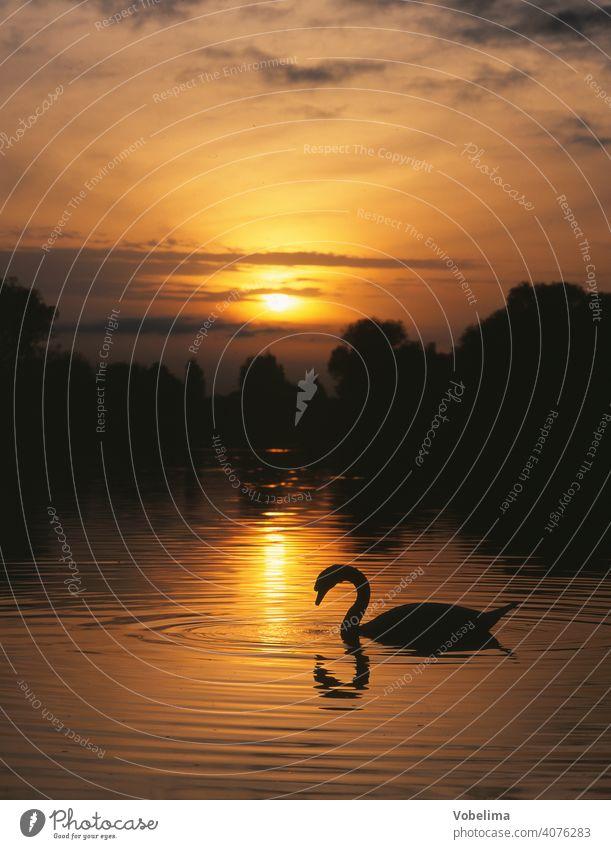 Schwan am Bodensee, abends Abend Sonne TIERE Deutschland Sonnenuntergang Wasser Cygnus olor vogel tier romantisch pittoresk ufer abendhimmel wolke wolken
