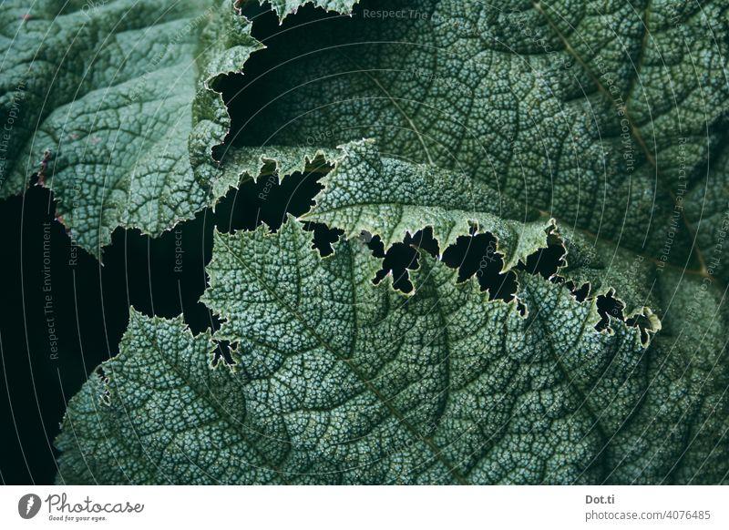 Monster-Mammutblatt Blatt Blattadern Gunnera struktur genarbt Pflanze Natur grün Farbfoto Außenaufnahme Menschenleer Tag Nahaufnahme Grünpflanze