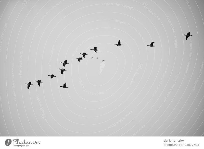 Wilde Gänse beim Vogelzug in V-förmiger Formation Avifauna beobachtung Gruppe Reise Zugvögel ziehende Gans Schwarm Vogelschwarm Freiheit Natur Himmel Zugvogel
