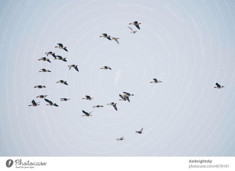 Wilde Gänse beim Vogelzug in V-förmiger Formation, Anser anser Avifauna beobachtung Gruppe Reise Zugvögel ziehende Gans Schwarm Vogelschwarm Freiheit Natur