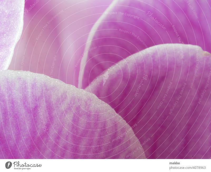 Blütenblätter einer Orchidee verstecken sich hintereinander Blütenblatt Makroaufnahme rosa Blume Adern rund Nahaufnahme Zimmerpflanze Pflanze Natur Licht Blatt