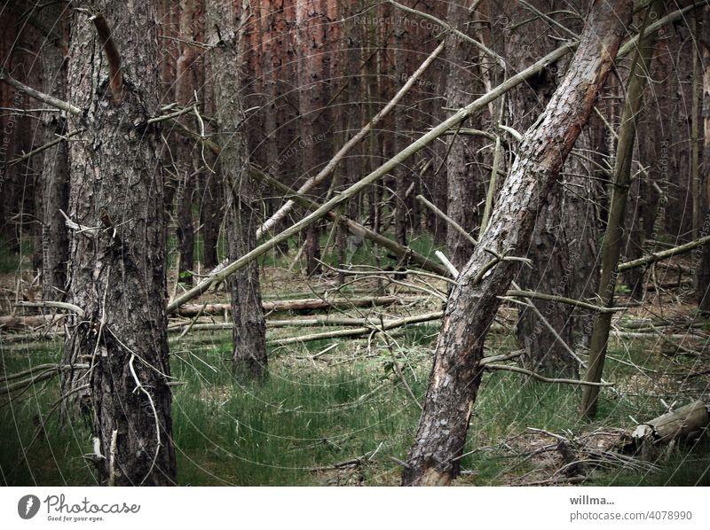 Willma war im Wald. Bäume Gehölz Windbruch Sturmholz Tothoz Sturmschaden Windwurf Schadholz Baum Baumstamm Natur Holz Quertreiber