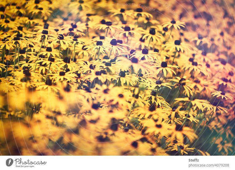 Sommergefühl mit dem Gelben Sonnenhut Gelber Sonnenhut Gewöhnlicher Sonnenhut Rudbeckia fulgida Spätsommer gelbe Blumen Blütenmeer viele Blumen gelbe Blüten