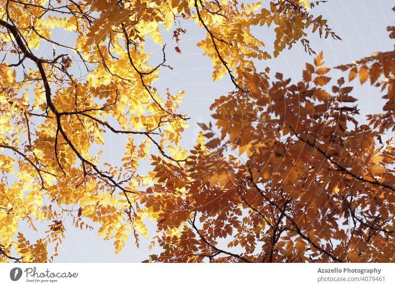 Schöne gelbe Blätter im Herbst. abstrakt Kunst Hintergrund schön Schönheit Ast hell Farbe trocknen Umwelt fallen Bildende Kunst Laubwerk Wald Garten golden
