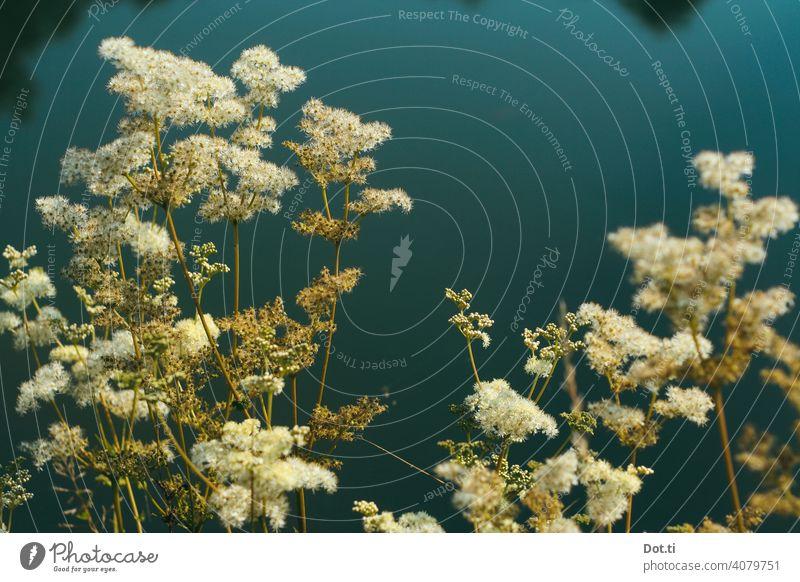 Mädesüß Naturphoto Pflanze Blüte Ufer natürlich Farbfoto Außenaufnahme Schwache Tiefenschärfe Umwelt Menschenleer Sommer Teich Blühend Tag Wachstum Wildpflanze