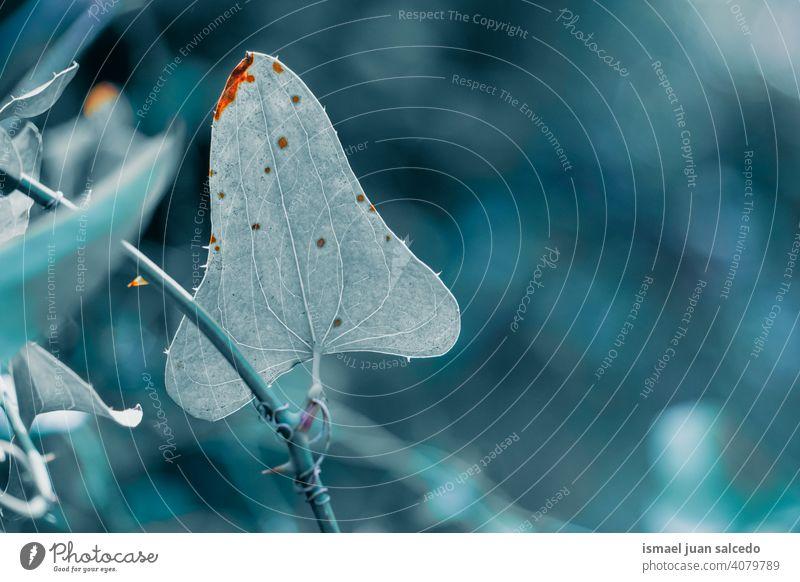 blaues Pflanzenblatt mit Herzform Blatt Blätter Blauer Hintergrund Natur Frühling Saison Frische Zerbrechlichkeit texturiert natürlich geblümt Grünpflanze