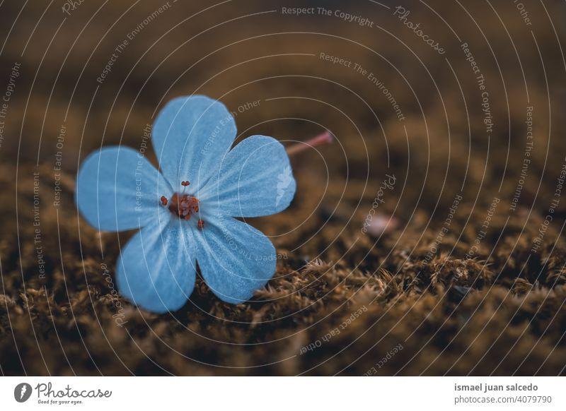 schöne blaue Blume in der Frühlingssaison Blütenblätter Pflanze Garten geblümt Flora Natur natürlich dekorativ Dekoration & Verzierung romantisch Schönheit