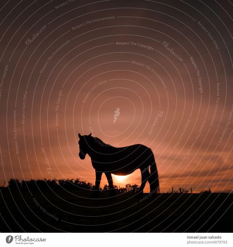 Pferd Silhouette auf der Wiese mit dem Sonnenuntergang Sonnenlicht Tier Tiermotive wild Natur niedlich Schönheit elegant wildes Leben Tierwelt ländlich