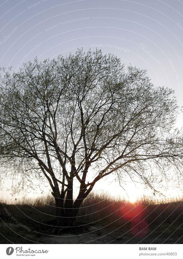 Baumsiluette im Frühjarssonnenuntergang Landschaft Blauer Himmel