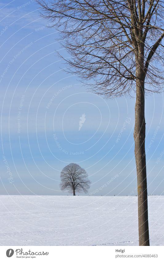 zwei Bäume  in einer Winterlandschaft mit blauem Himmel Baum groß klein nah fern Schnee blauer Himmel schönes Wetter Kälte Baumstamm kahl kalt Außenaufnahme