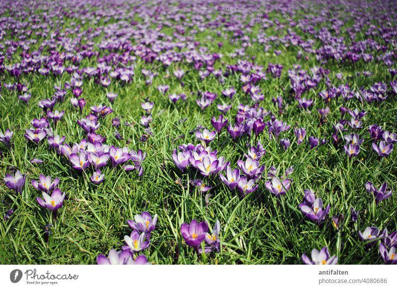 Das blaue Band Düsseldorf Krokusse blühen Frühling Wiese blaues band Blume Blüte Natur Pflanze Farbfoto Außenaufnahme Blühend violett Schwache Tiefenschärfe