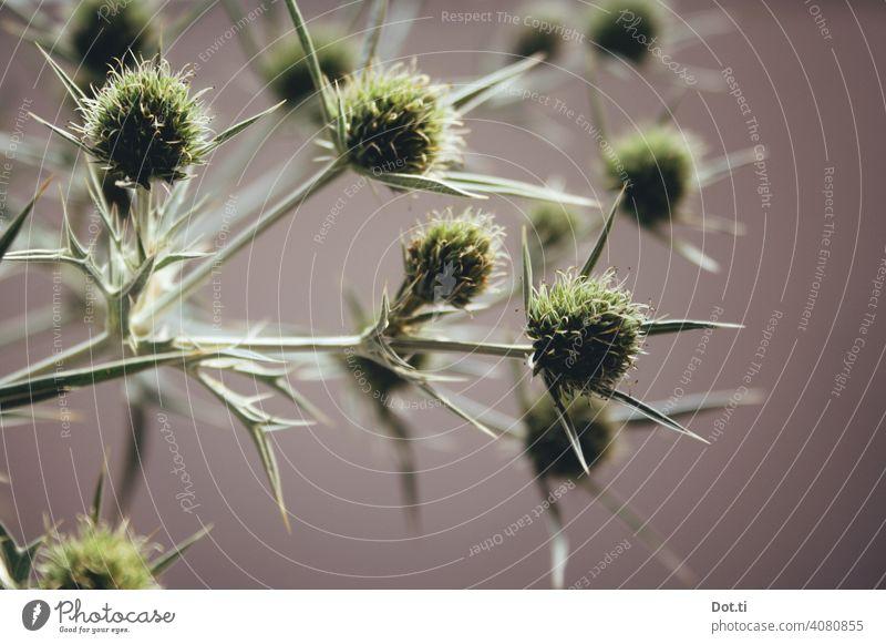 Feld-Mannstreu Distel Distelblüte Eryngium campestre Pflanze Natur Farbfoto stachelig Menschenleer Schwache Tiefenschärfe Nahaufnahme Blüte Botanik grün