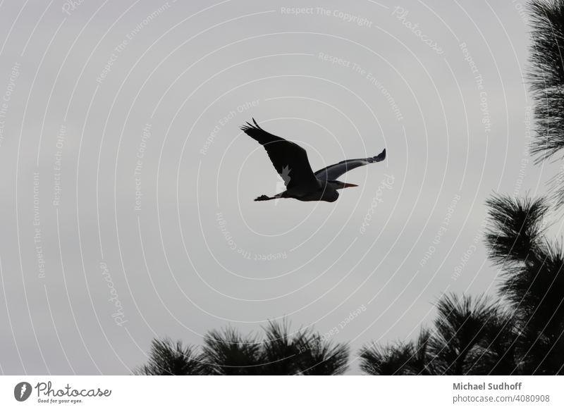 Ein gerade von Nest gestarteter Graureiher auf der Suche nach Baumaterial,in der Dämmerung mitte März. Schnabel Tier Natur Flügel Vogel Wildtier Himmel Feder