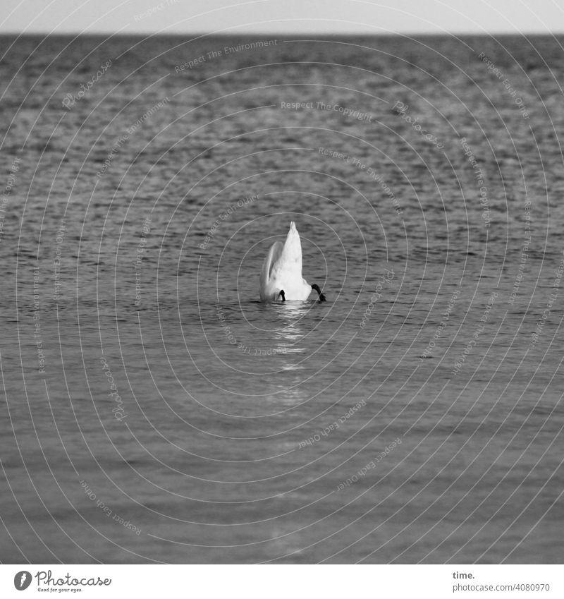 Unterwasserbuffet schwan kopfüber tierportrait füße gründeln meer ostseee horizont hintern federkleid wellen vogel nachschauen tauchgang skurril lustig