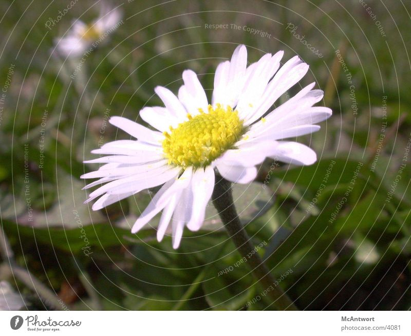 Gänseblume Natur Blume Pflanze
