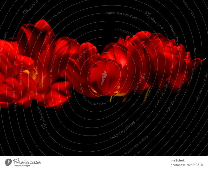 Tulpenorgie Blume dunkel rot Fototechnik Tonwertkorrektur Makroaufnahme
