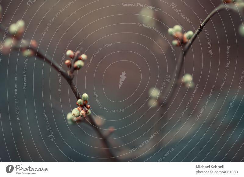 Erste Knospen im Frühling knospen treiben Knospenblüher Natur Pflanze Blüte grün schön natürlich Nahaufnahme Frühlingsgefühle klein wachsend sprießen jung