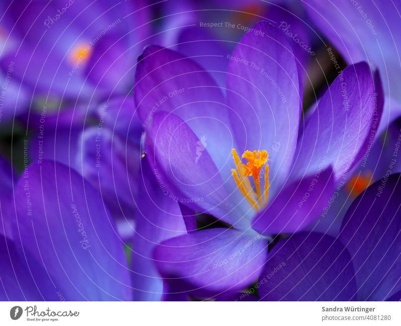Lila Krokusse / Frühlingsgefühle lila Natur Blüte Blume Pflanze violett Garten Blühend Farbfoto natürlich Makroaufnahme Außenaufnahme Schwache Tiefenschärfe